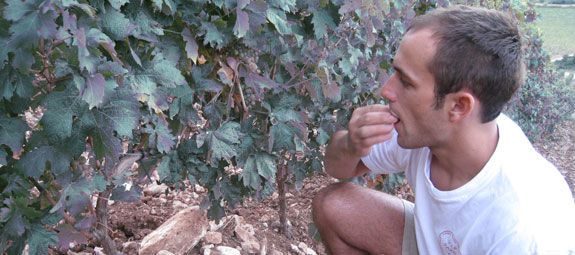 Antoine-Marie tastes the vermentinu grapes to see is they're ripe enough to havest.