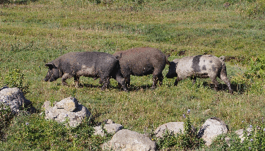 Three little Corsican piggies traverse the Coscione.